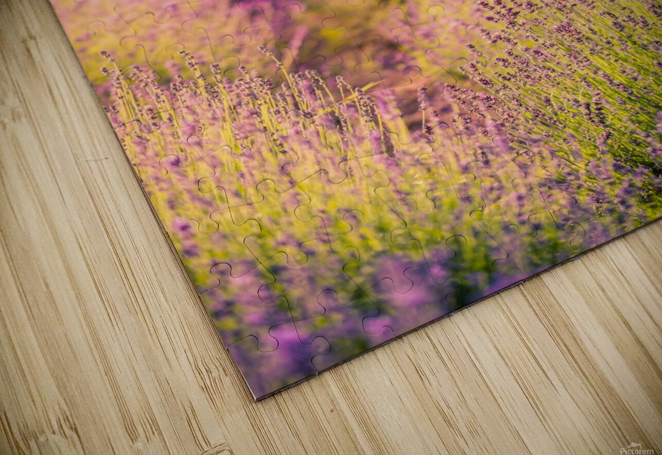 Beautiful Sunset lavender flowers on a field HD Sublimation Metal print