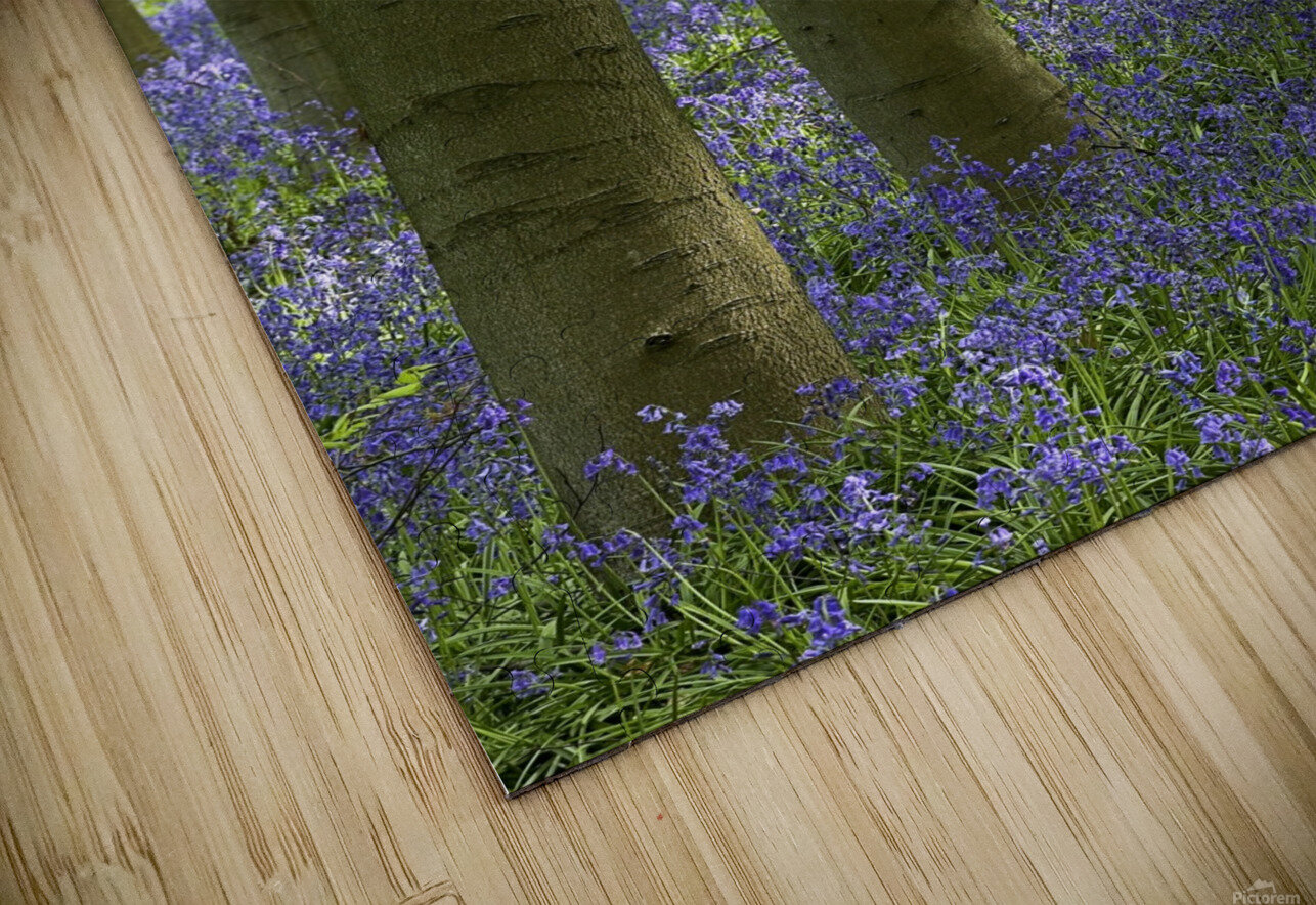 Bluebells In The Woods, Nottinghamshire, England HD Sublimation Metal print