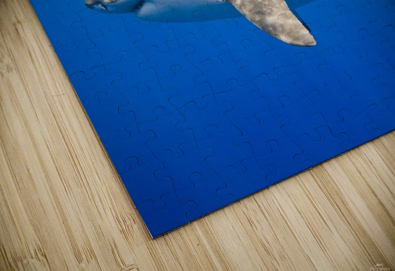 Great White Shark (Carcharodon Carcharias) HD Sublimation Metal print