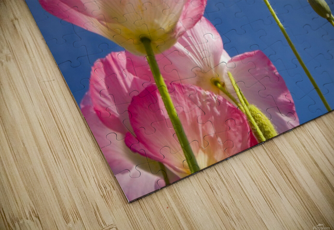 Shirley Poppies HD Sublimation Metal print