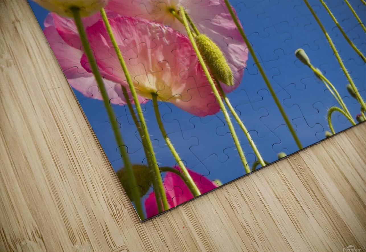 Shirley Poppies (Papaver Rhoeas), Oregon, Usa HD Sublimation Metal print