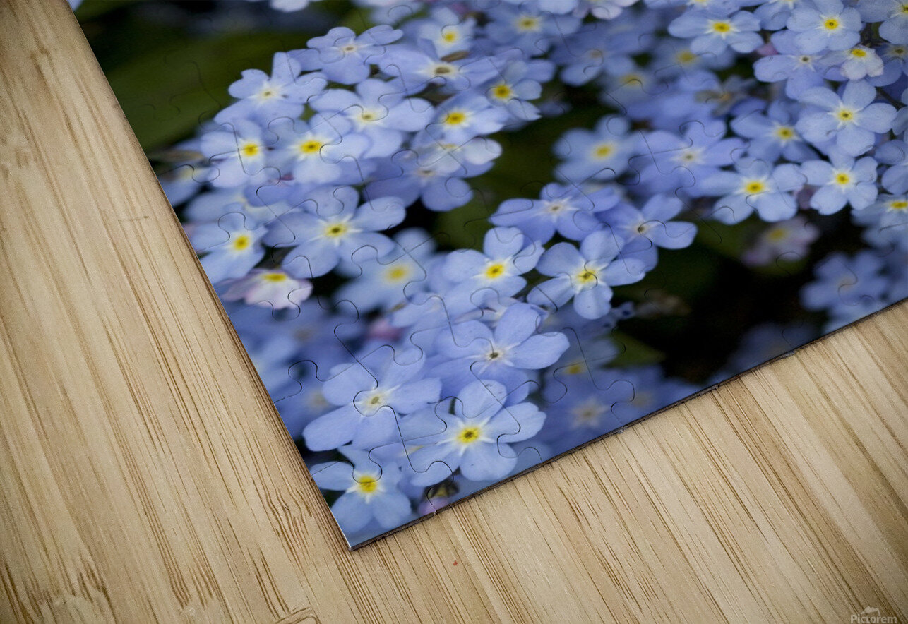 Victoria, British Columbia, Canada; Blooming Blue Flowers HD Sublimation Metal print