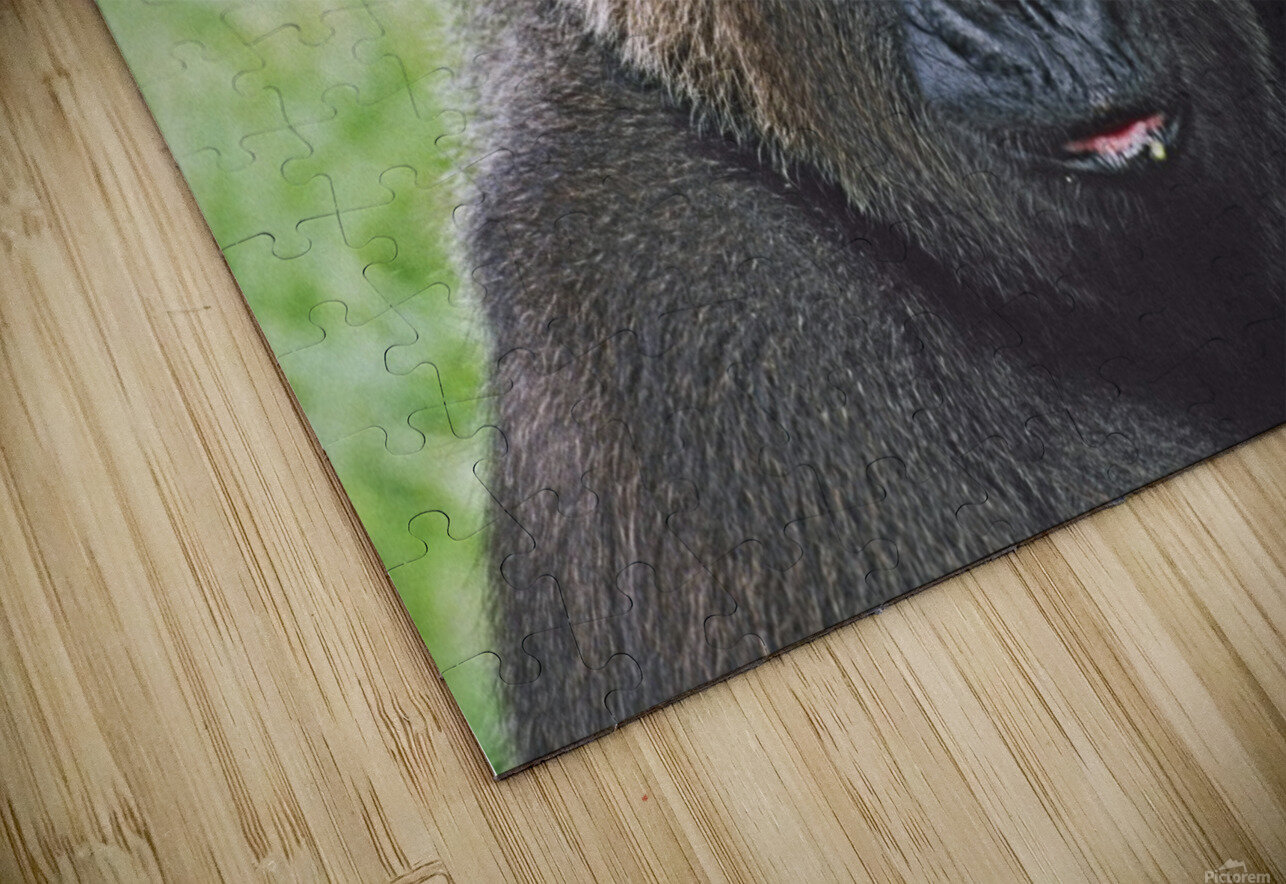 Western Gorilla Portrait With Finger On Brow As If Thinking, Africa HD Sublimation Metal print