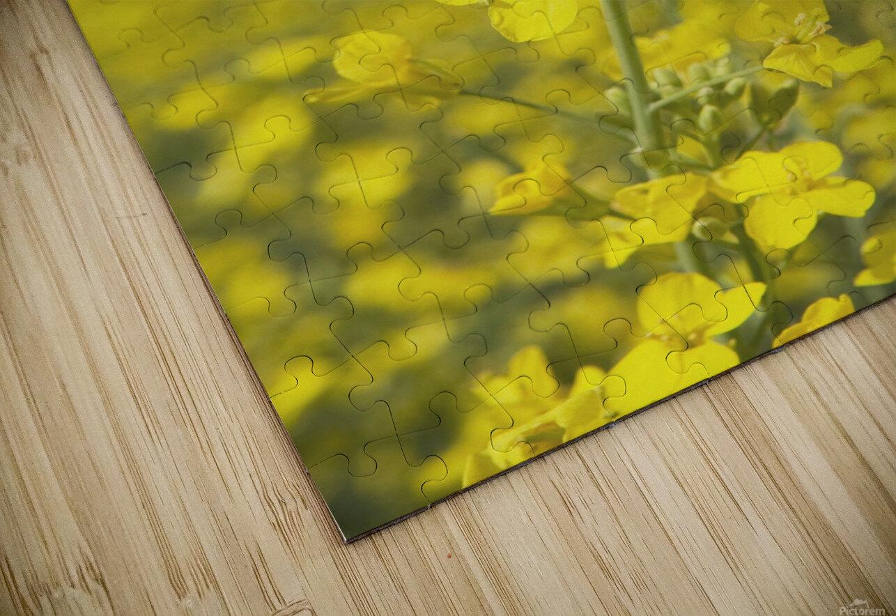 Flowering Canola, Alberta, Canada HD Sublimation Metal print