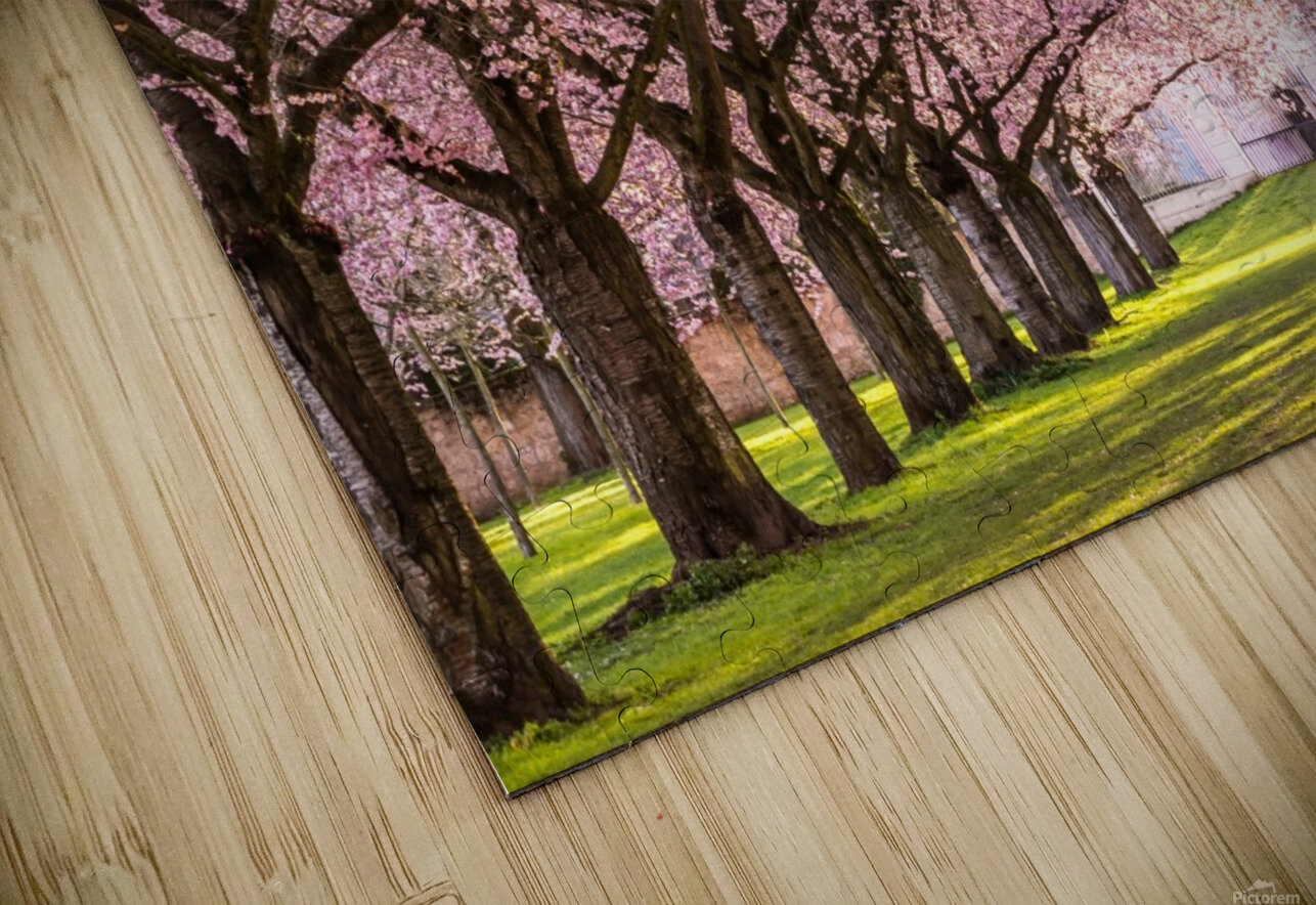 Cherry Blossom in a Park HD Sublimation Metal print