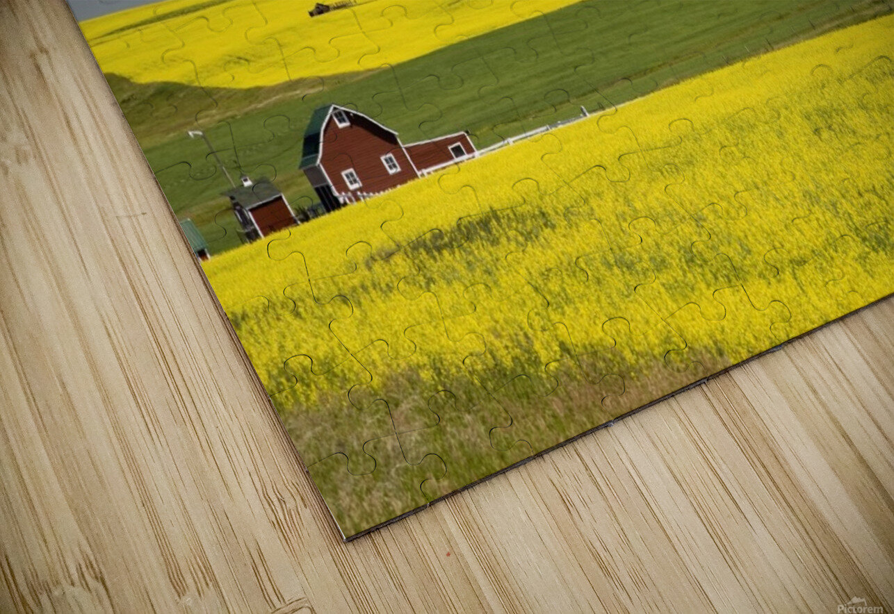 Flowering Canola Fields And A Red Barn; Alberta, Canada HD Sublimation Metal print