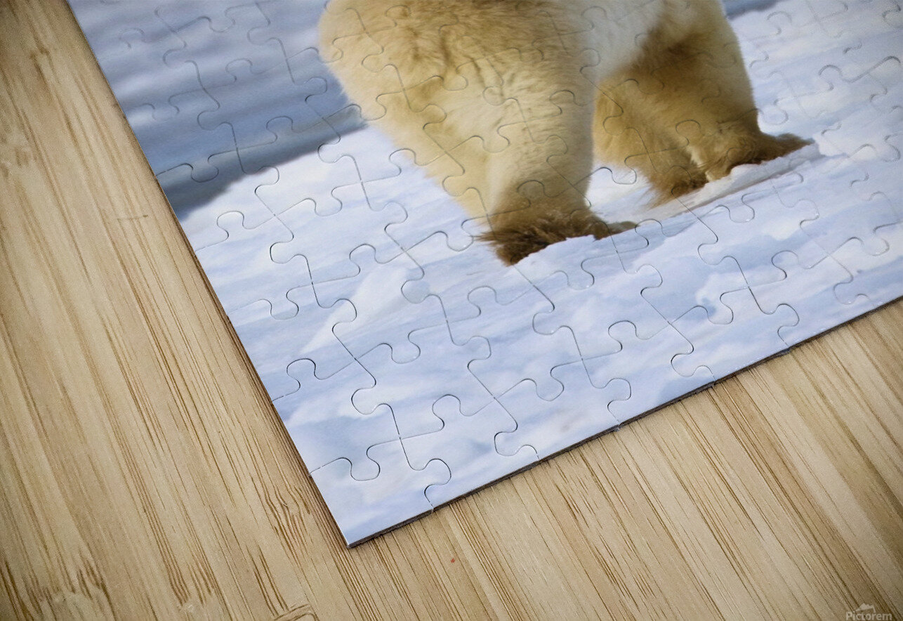 Polar Bear (Ursus Maritimus) Sniffs The Air As He Is On The Hunt For Food; Churchill, Manitoba, Canada HD Sublimation Metal print