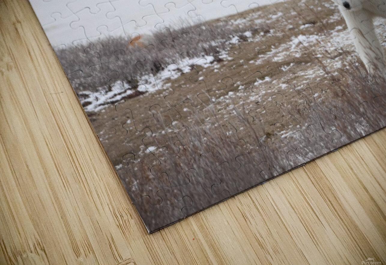 Polar Bears (Ursus Maritimus) Staring Ahead As They Walk Across The Frozen Tundra; Churchill, Manitoba, Canada HD Sublimation Metal print