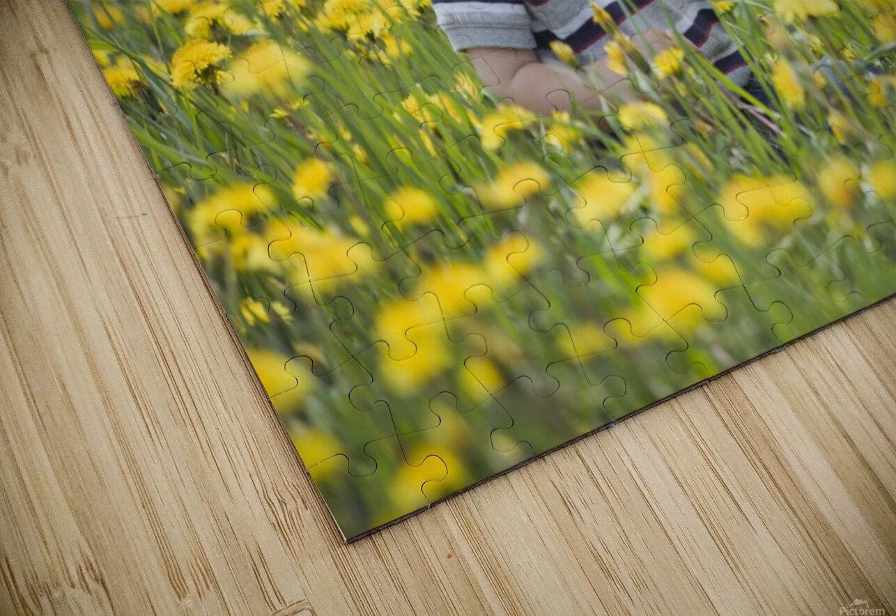 18-Month-Old Boy In Dandelion Field; Thunder Bay, Ontario, Canada HD Sublimation Metal print