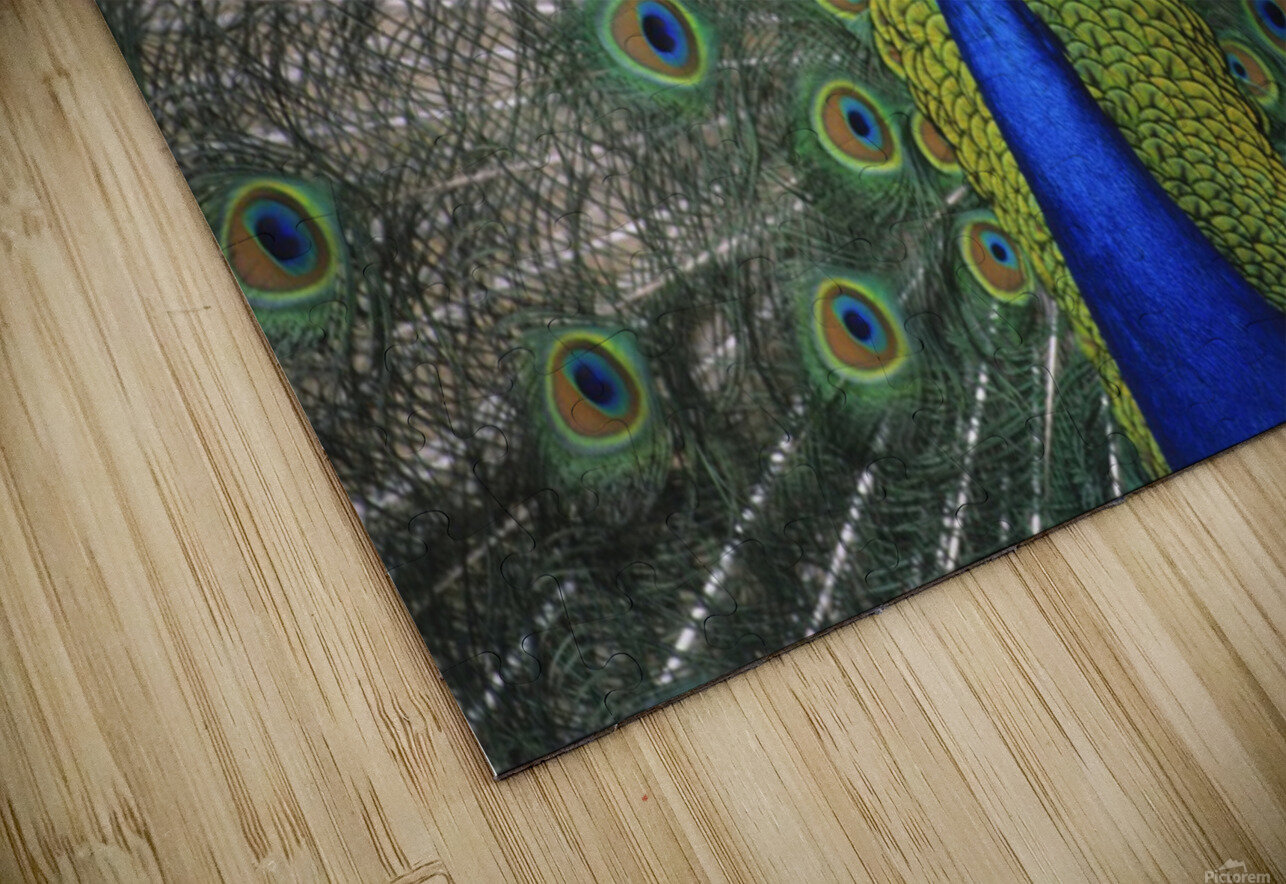 Peacock In Open Feathers, Victoria, Bc Canada HD Sublimation Metal print