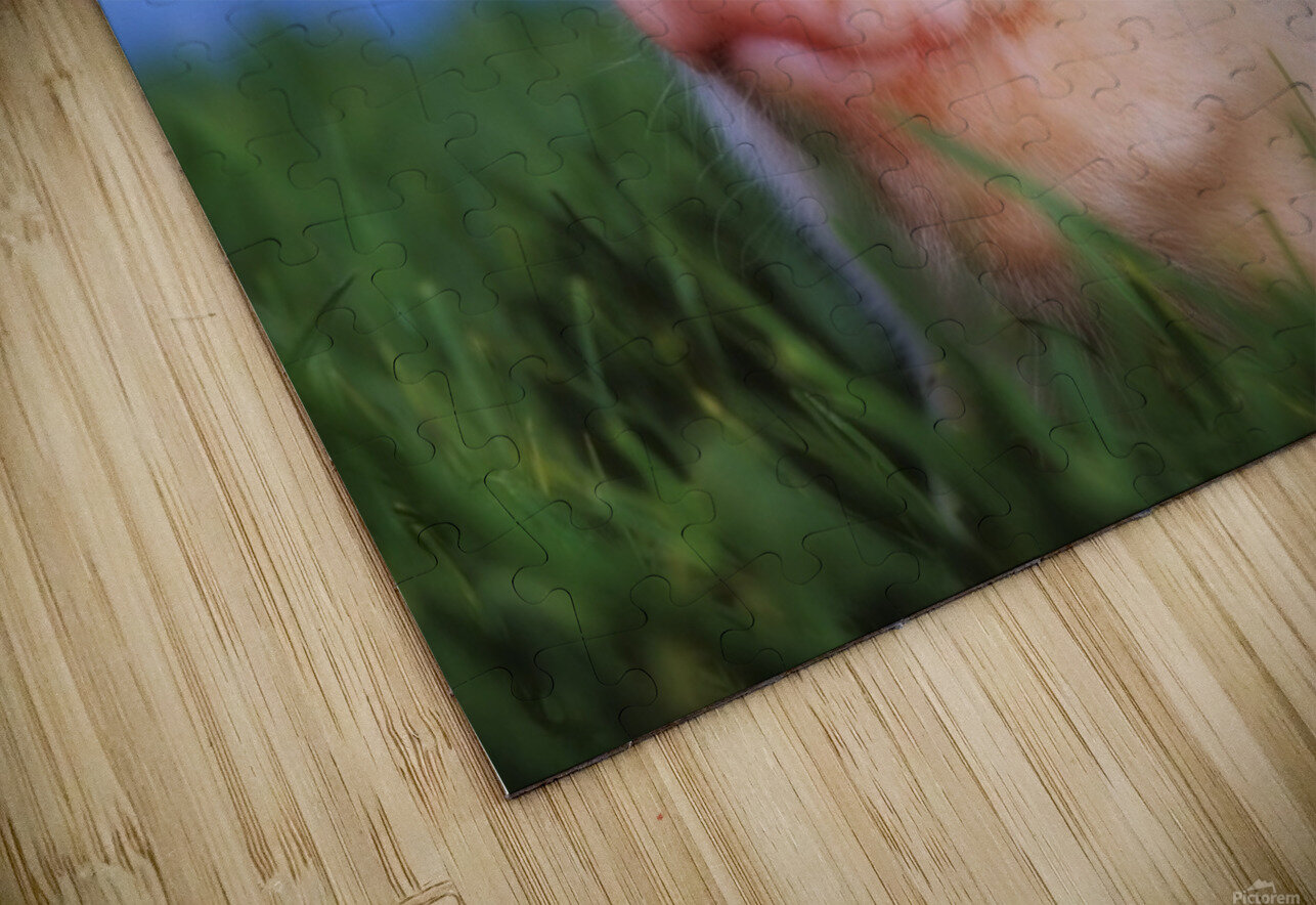 Baby pig lying on grass;British columbia canada HD Sublimation Metal print