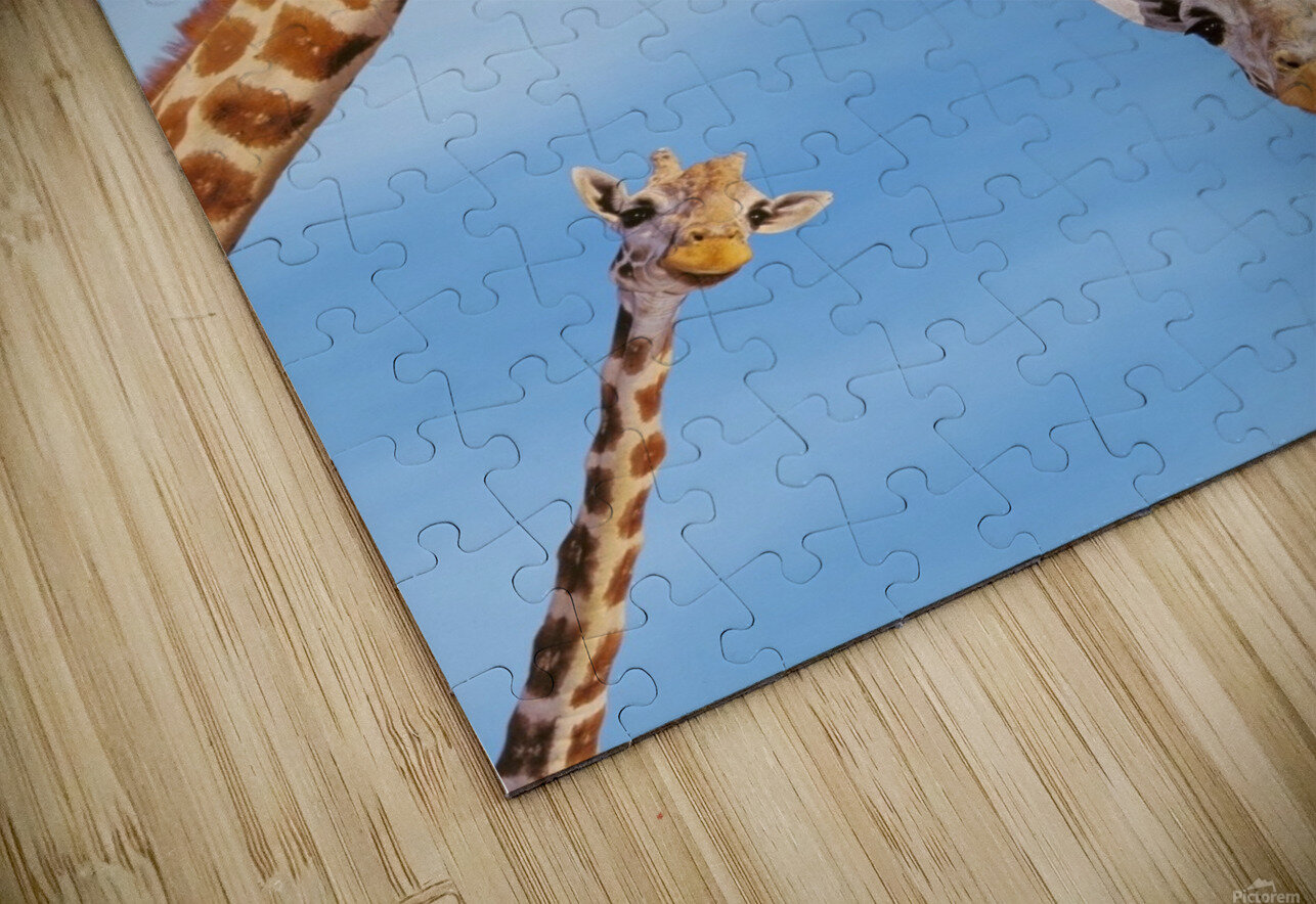 Four giraffes looking downward;Africa HD Sublimation Metal print