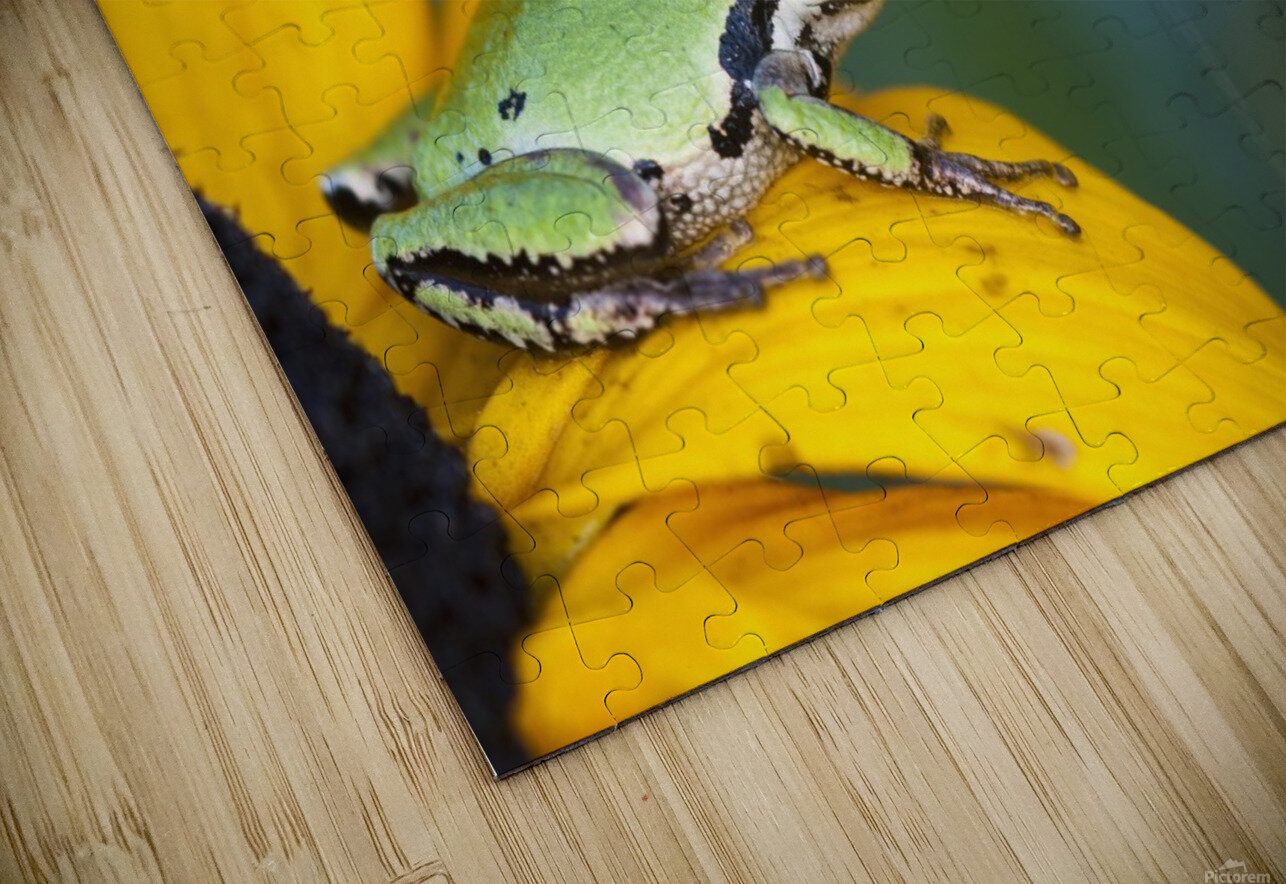 A Pacific Tree Frog (Pseudacris Regilla) Hunts For Insects On A Rudbeckia Blossom; Astoria, Oregon, United States Of America HD Sublimation Metal print