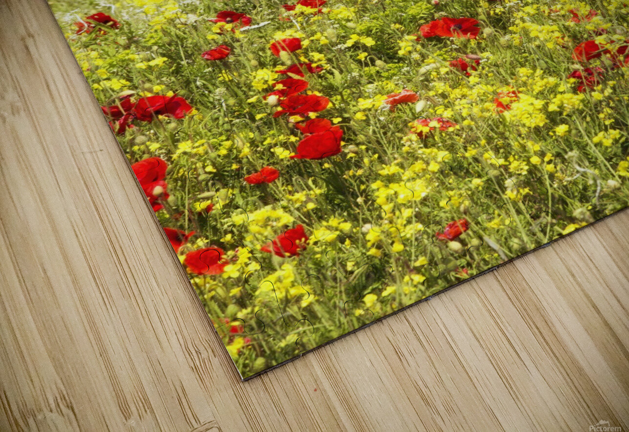 Abundance of red poppies in a field; Whitburn, Tyne and Wear, England HD Sublimation Metal print