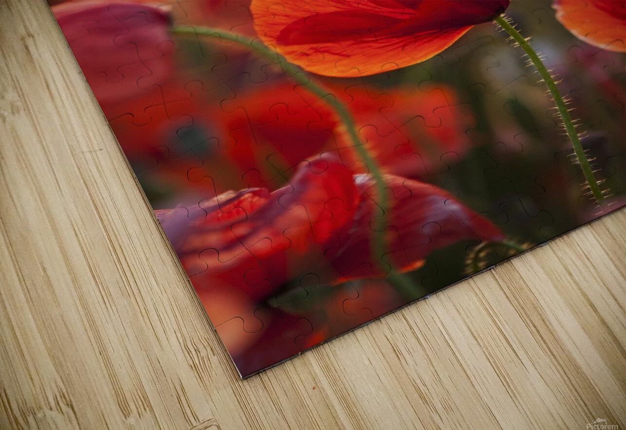 Common Poppy (Papaver rhoeas) covering an arable field; North Yorkshire, England HD Sublimation Metal print