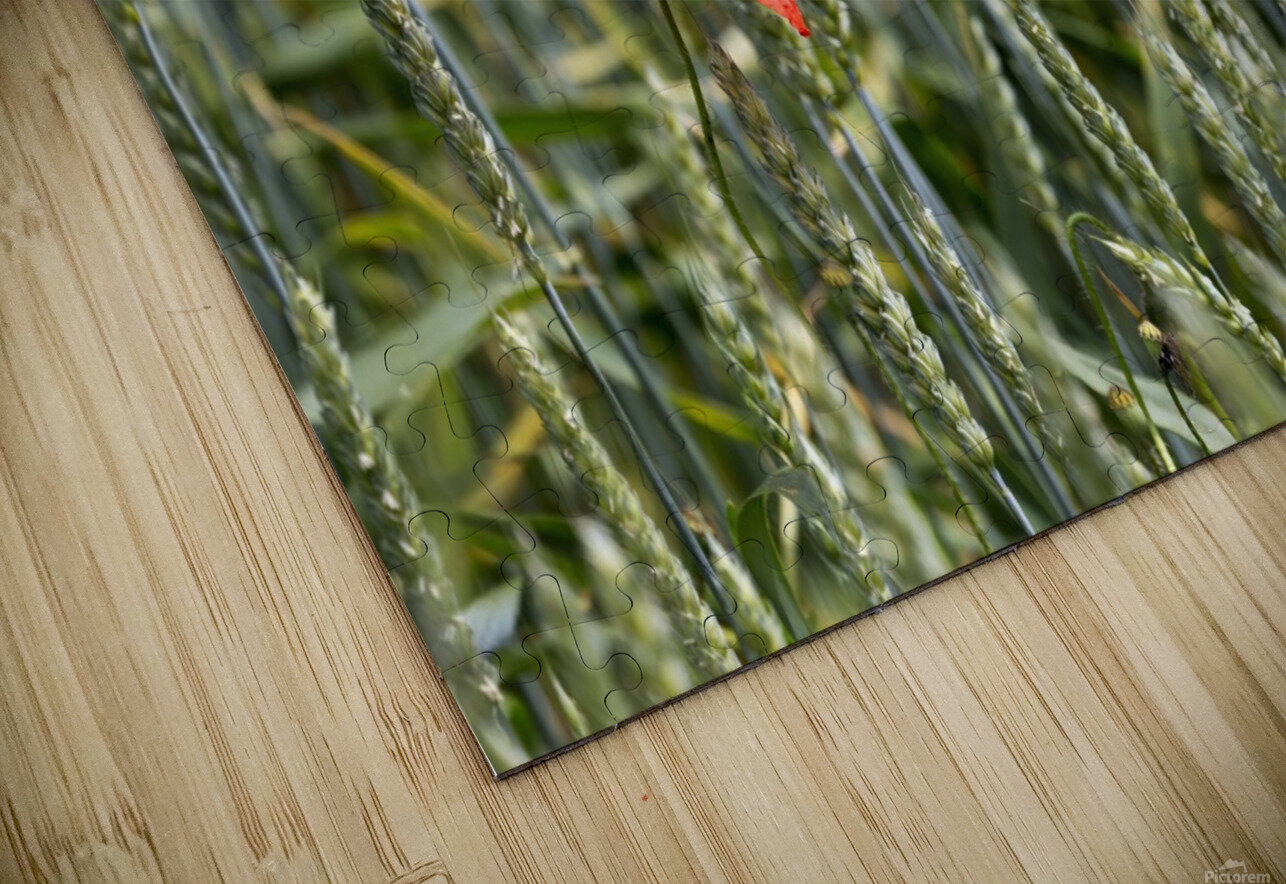 Close up of red poppy in a green wheat field; Brehec, Brittany, France HD Sublimation Metal print