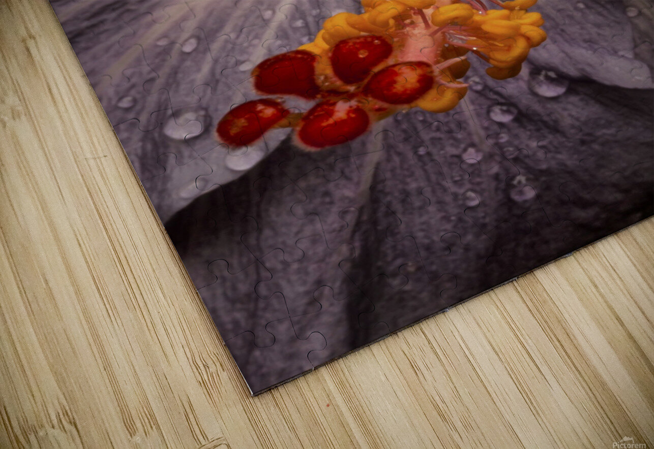 Close up of a Hibiscus flower with water droplets; Hawaii, United States of America HD Sublimation Metal print