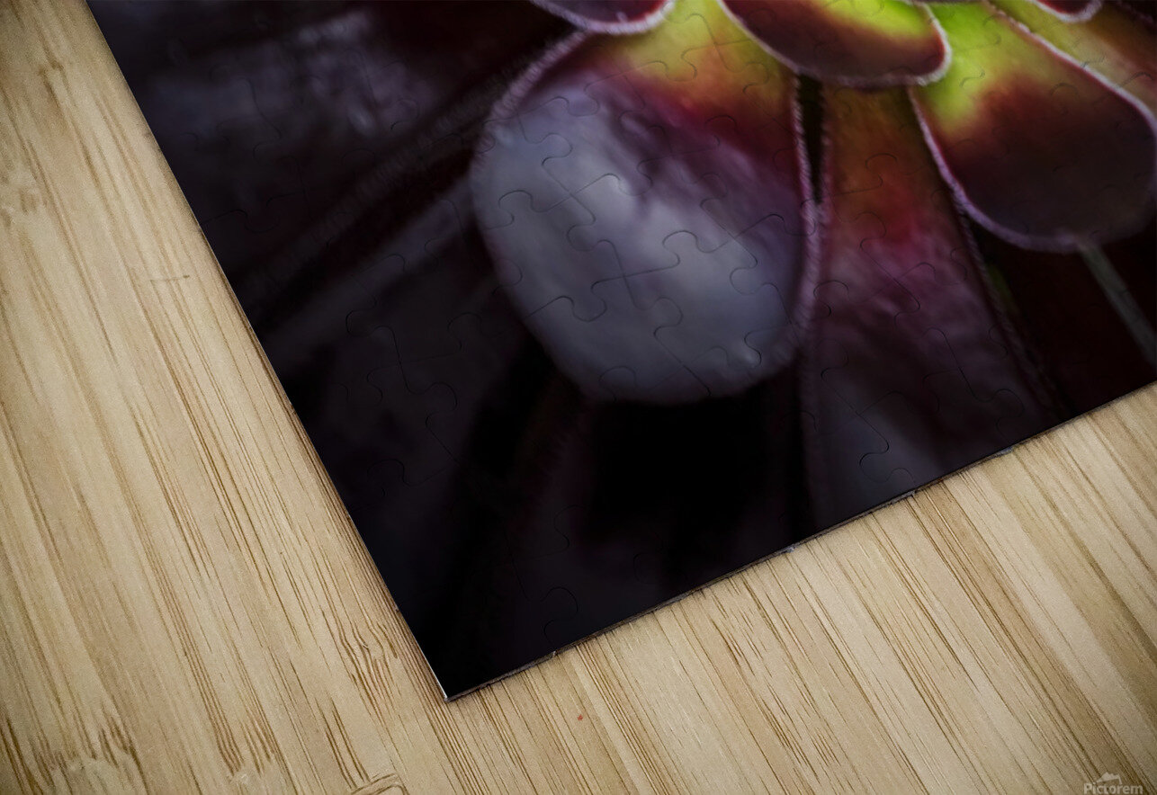 Purple and green Aeonium, Dublin Botanic Garden; Dublin, Leister, Ireland HD Sublimation Metal print