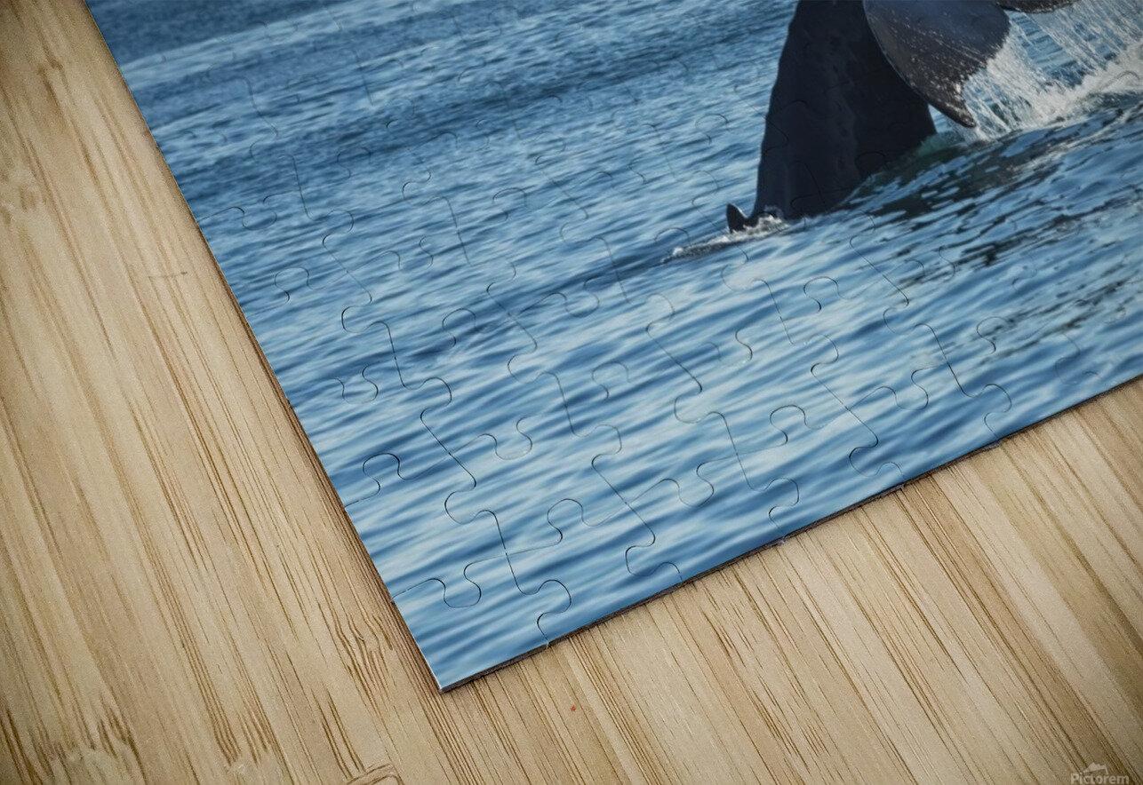 Humpback whale (Megaptera novaeangliae) in Seward harbour; Seward, Alaska, United States of America HD Sublimation Metal print