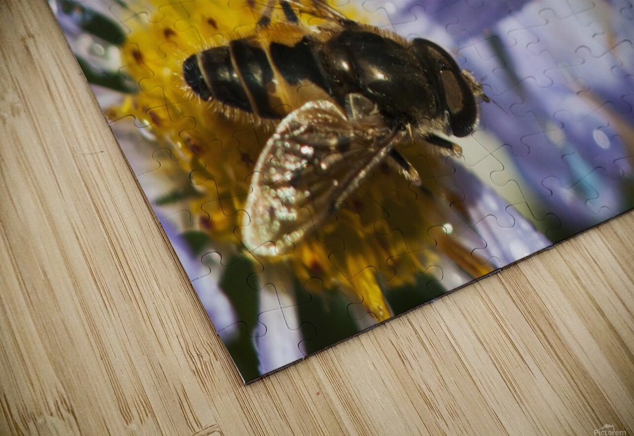 A Fly Rests On Aster Blossoms; Astoria, Oregon, United States Of America HD Sublimation Metal print