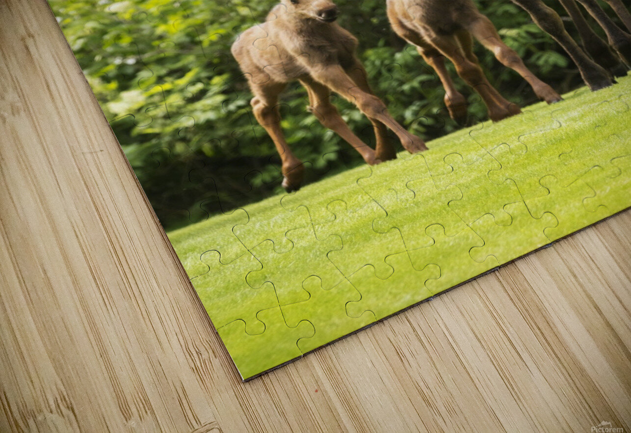 A cow moose (alces alces) with her calves on green grass with lush green foliage; Anchorage, Alaska, United States of America HD Sublimation Metal print
