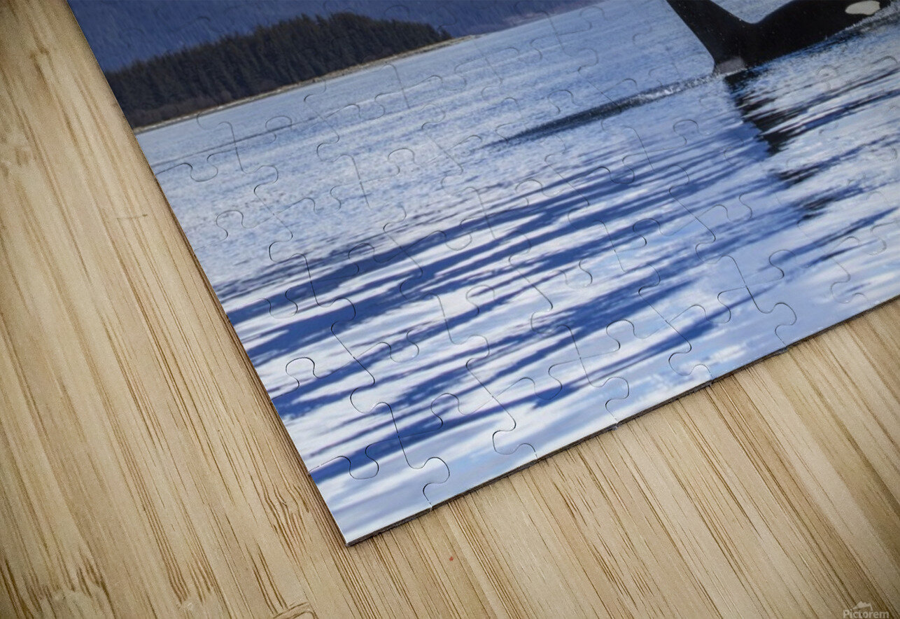 An Orca Whale (Killer Whale) (Orcinus orca) surfaces in Lynn Canal, Herbert Glacier, Inside Passage; Alaska, United States of America HD Sublimation Metal print
