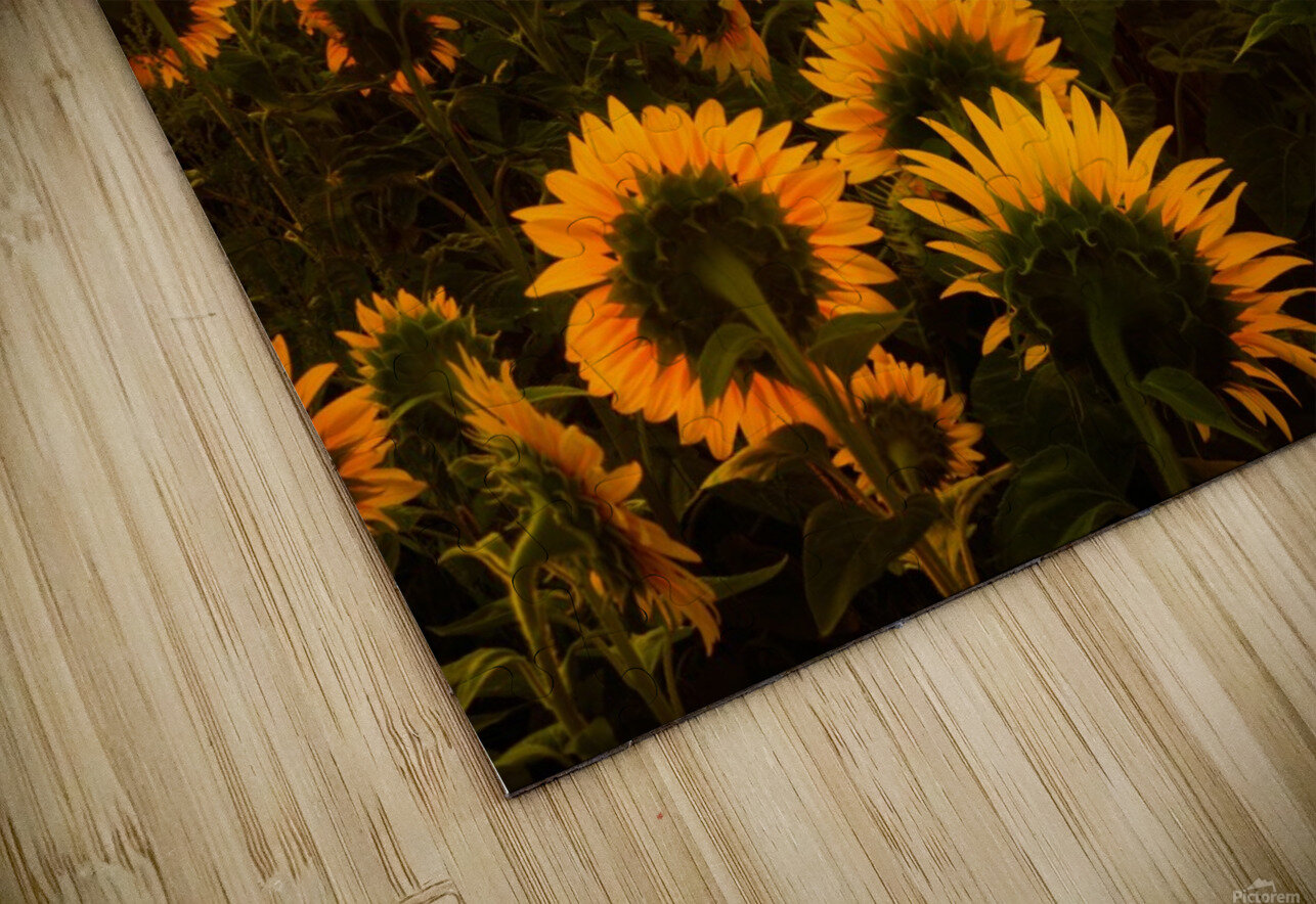 Sunflower Field HD Sublimation Metal print