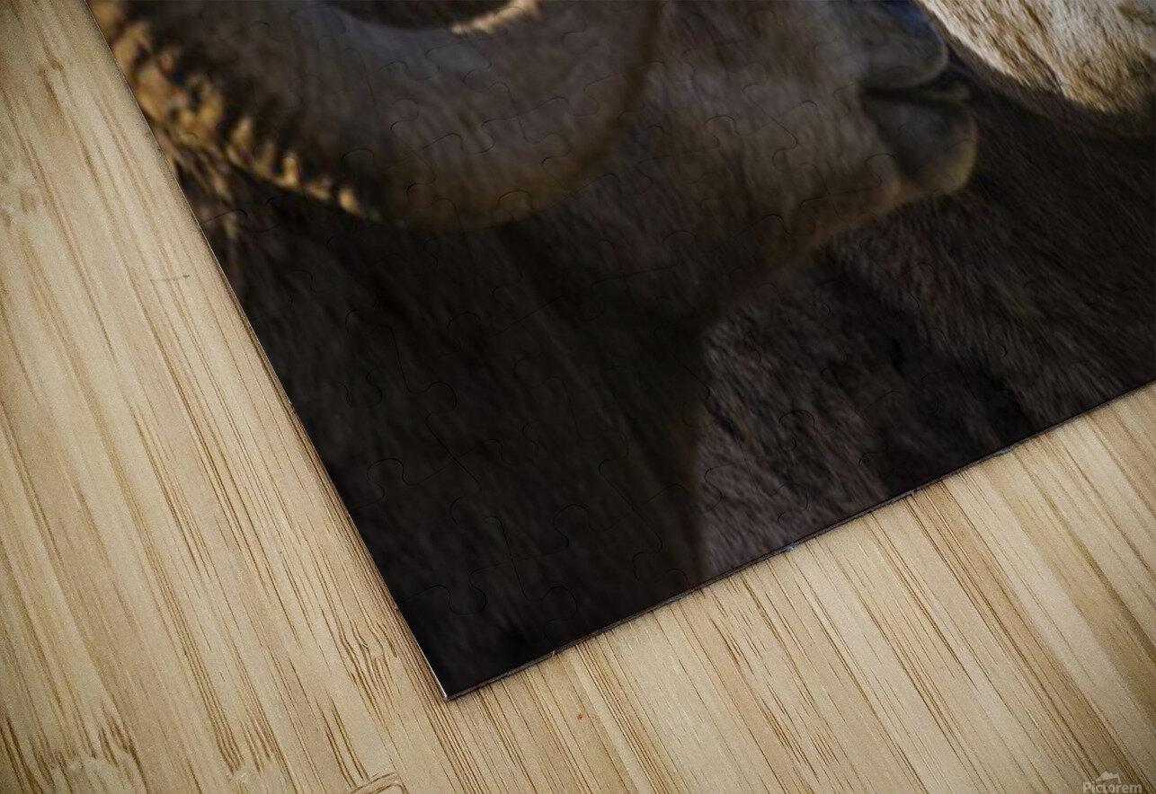 Bighorn Sheep, Waterton National Park, Alberta, Canada HD Sublimation Metal print