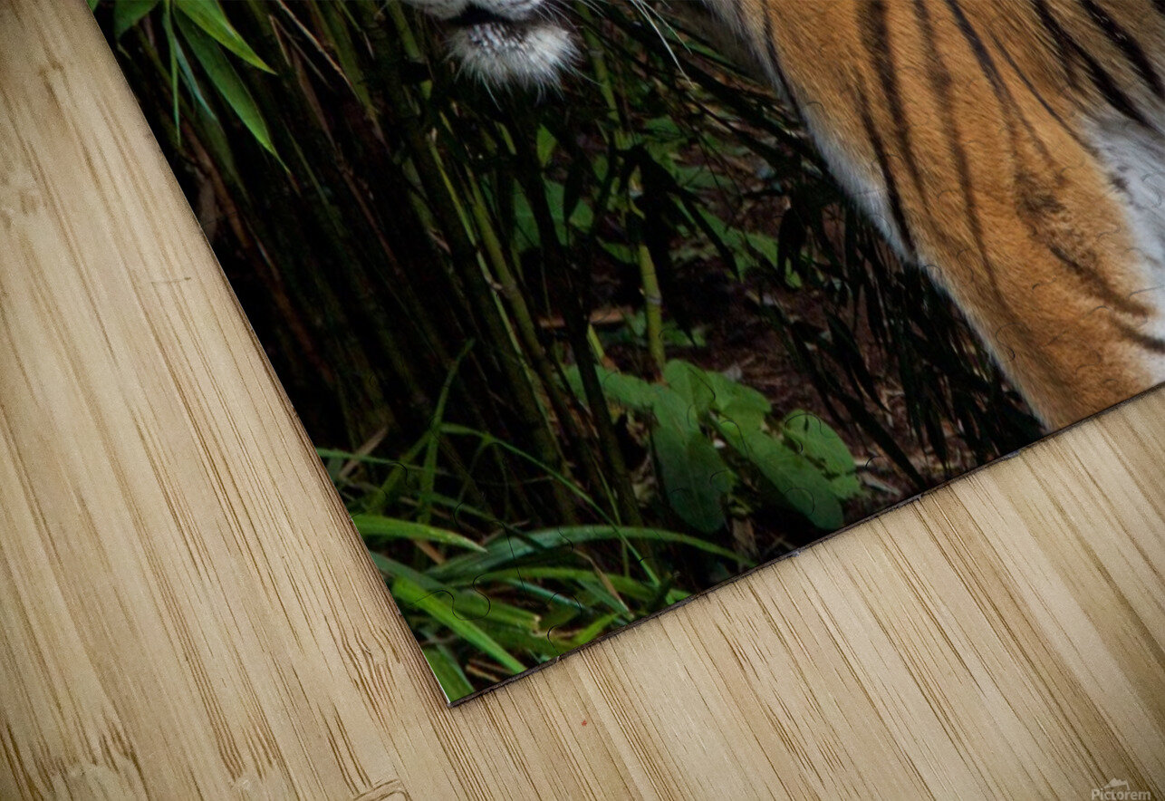 Female Tiger HD Sublimation Metal print