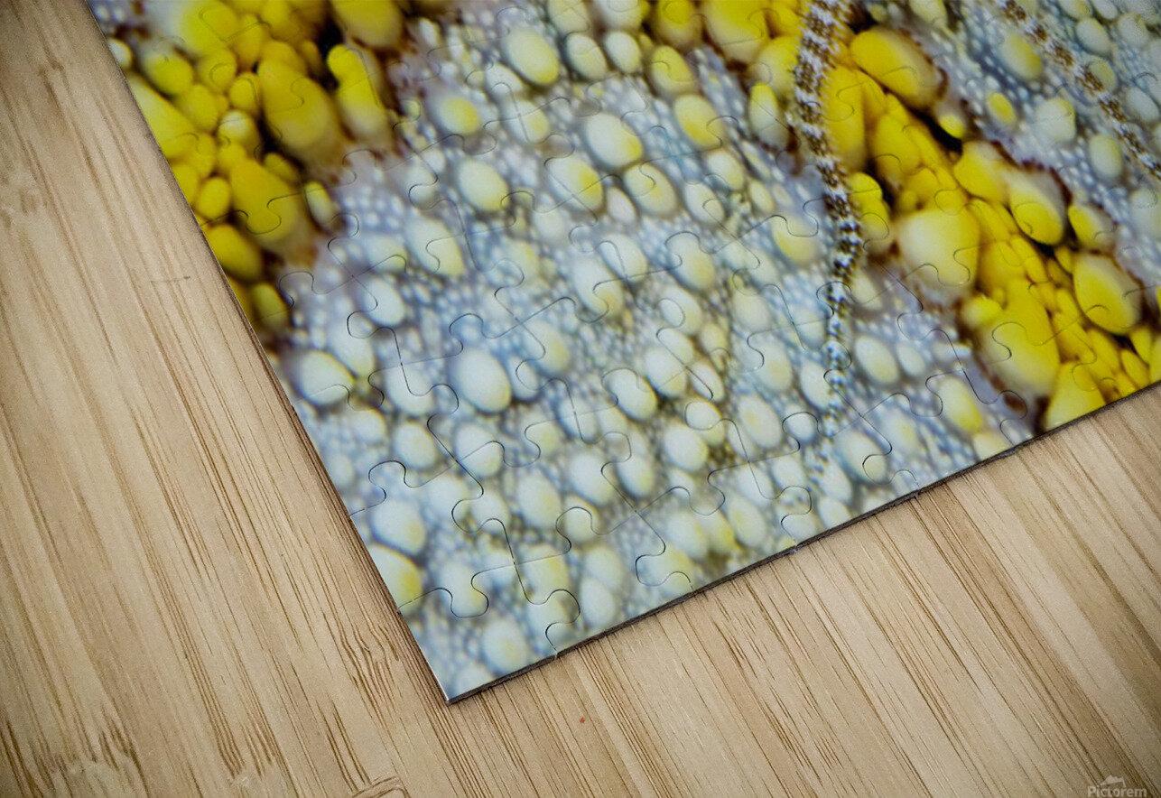 USA, Reticulated Brittle Star (Ophiocoma Brevipes) On Cushion Starfish (Culcita Novaeguineae); Hawaii HD Sublimation Metal print