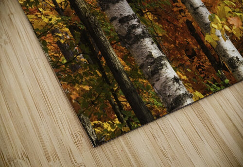 The colourful leaves and birch tree trunks in Algonquin Park; Ontario, Canada jigsaw puzzle