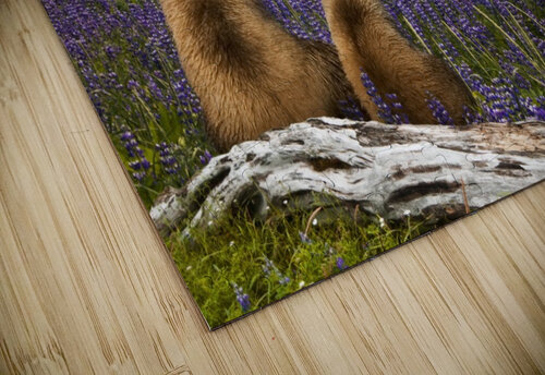 COMPOSITE: Grizzly Sow & cub sit in lupine along Seward Highway, Turnagain Arm, Southcentral Alaska jigsaw puzzle