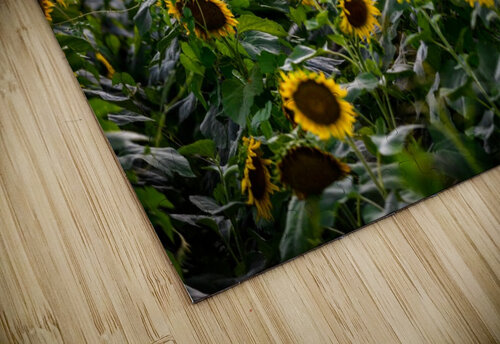 Sunflower Field jigsaw puzzle