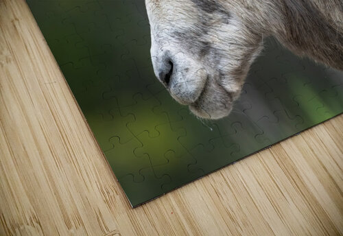 5513 - Big Horn Sheep  Banff National Park Canada jigsaw puzzle