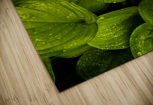 Rain Drops and Hosta Leaves jigsaw puzzle