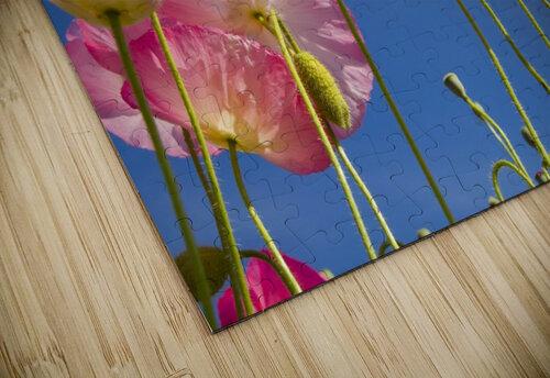 Shirley Poppies (Papaver Rhoeas), Oregon, Usa jigsaw puzzle