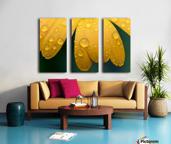 Close up of water droplets on yellow flower petals; South Shields, Tyne and Wear, England Split Canvas print