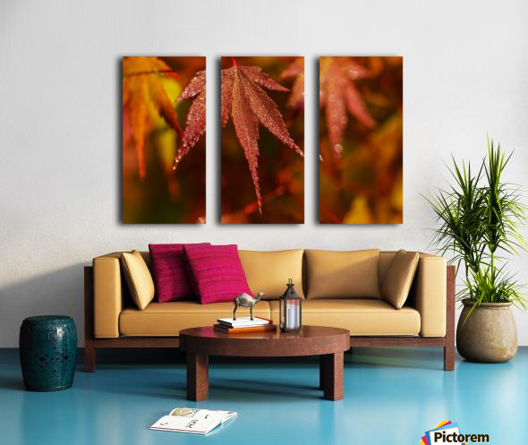 Japanese Maple (Acer palmatum) turning red in the autumn; Astoria, Oregon, United States of America Split Canvas print