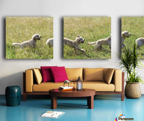 Composite of a blond cockapoo running across a grass field; South Shields, Tyne and Wear, England Split Canvas print