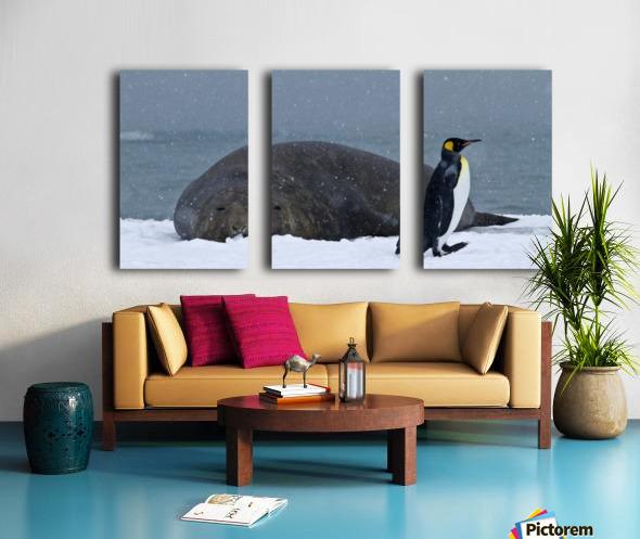 King Penguin walking nest to Elephant Seal Split Canvas print