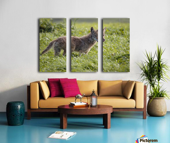 Coyote Pretty Split Canvas print