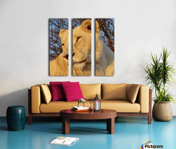 White Lioness Sunset 593 Split Canvas print