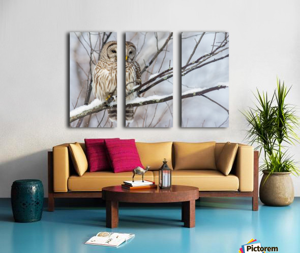 Barred Owl on a Snowy Branch Split Canvas print