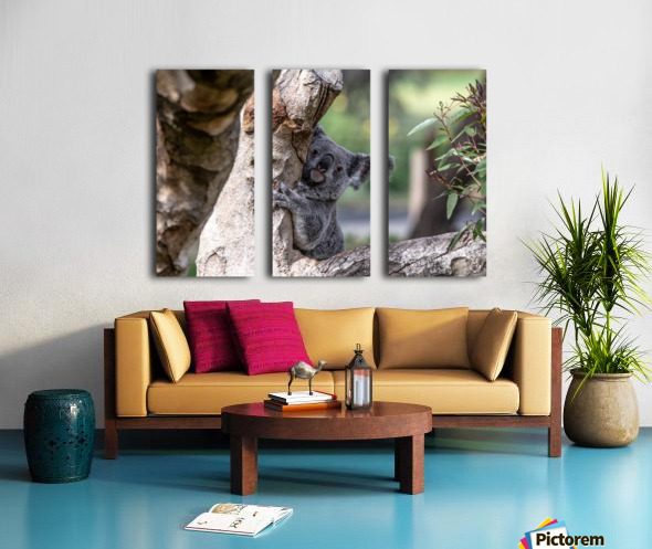 Australias Own Koala Bear Split Canvas print