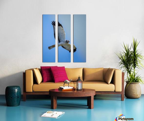 Northern Harrier in Flight Split Canvas print