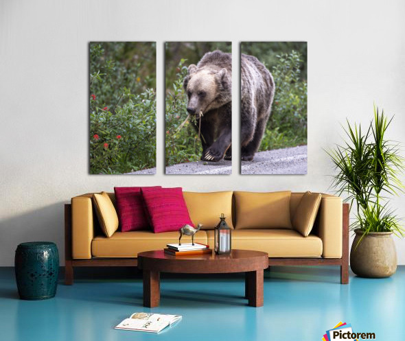 0037 - Grizzly Bear with Dandelions in Banff National Park Canada. Split Canvas print