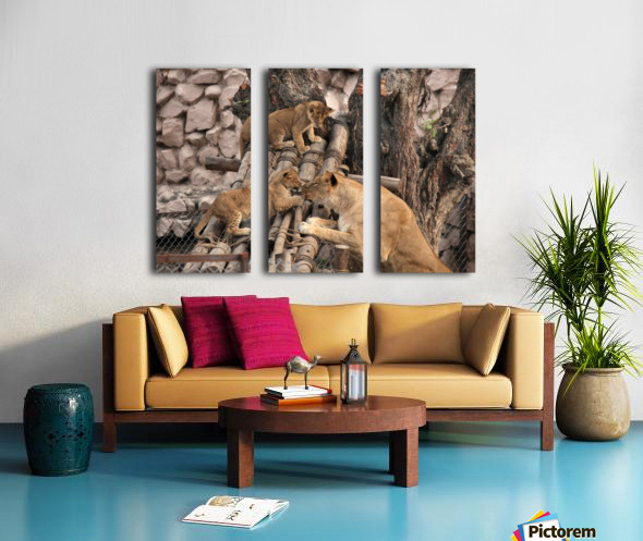 Lioness baby in Lucknow Zoo (1) Split Canvas print