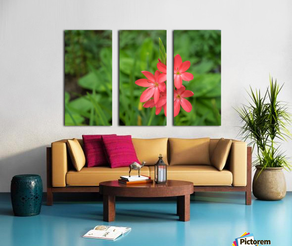 Three Bold Pink River Lily Blooms - Exotic South African Beauties in a Garden Split Canvas print