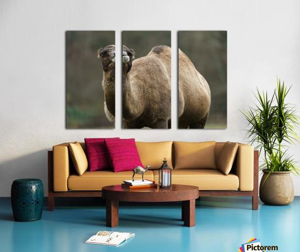 Camel Split Canvas print