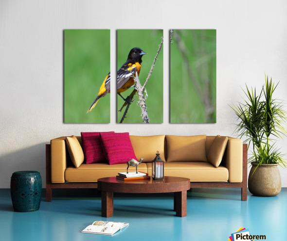 Baltimore Oriole Split Canvas print